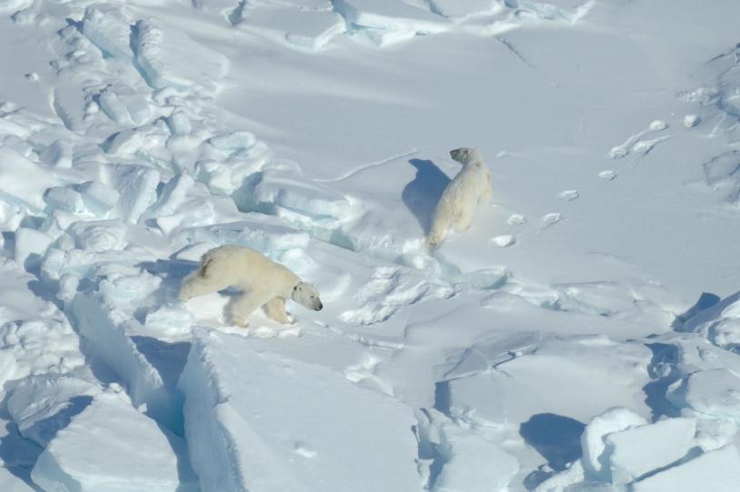 Ours blancs en Baie d'Hudson